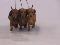 Formula Uspeha Best Kennel Breed,(final 10 Best Kennel WDS)
