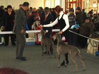 Hunting Collection Beauty (Weimaraner) - CAC, R.CACIB