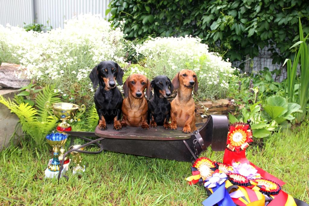 05.06.16. Zelenograd. Russia. Special Dachshund Show.