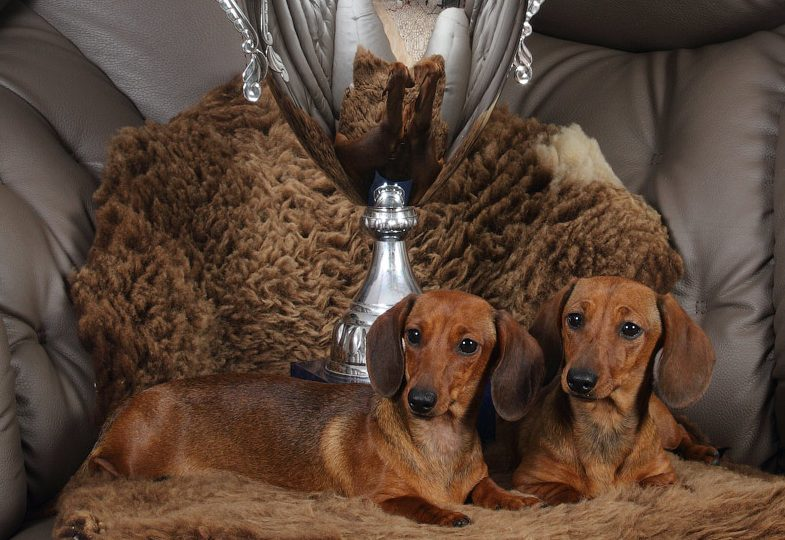 23.04.17. Russia. Podolsk. Special Dachshund Show.