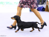 Formula Uspeha Black Star (MS) - Best Veterav, 3-Best in Show Veteran
