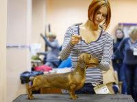 17.10.15. Russia. Podolsk. Special Dachshun Show - Formula Uspeha Top Gear (MS) (4 months) – Best Puppy, 1-Best in Show Puppy