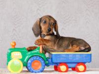 купить отличного щенка таксы